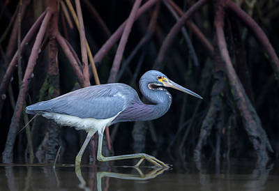 Roots Photograph - Stalking In The Mangroves by Greg Barsh