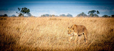 Photograph - Stalking Lion by Jim DeLillo