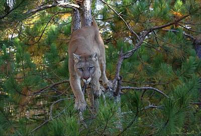 Photograph - Stalking Mountain Lion by Daniel Behm