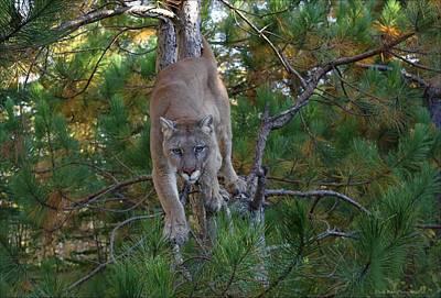 Photograph - Stalking Mountain Lion by Daniel Behm