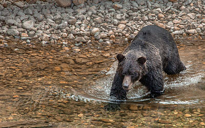 Photograph - Stalking Salmon by Tim Bryan