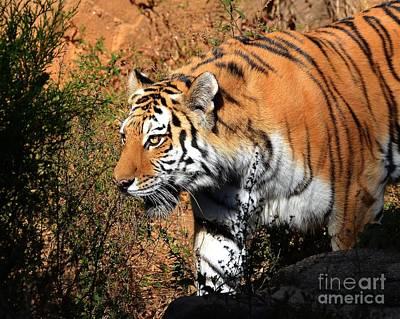 Photograph - Stalking Tiger 1 by Kathy Baccari