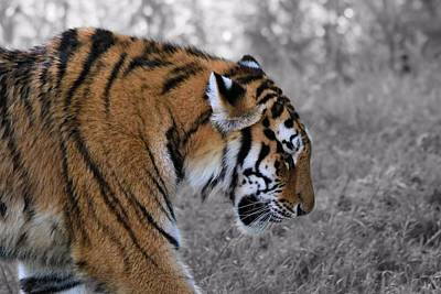 Large Cats Photograph - Stalking Tiger by Dan Sproul