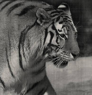 Photograph - Stalking Tiger by Sarah Boyd