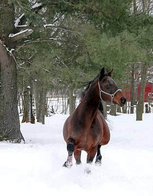 Photograph - Stallion In Snow by Davandra Cribbie