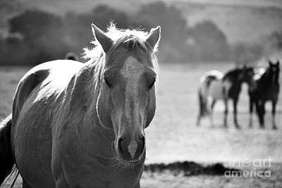 Photograph - Stallion In The Forefront Black And White by Heather Kirk