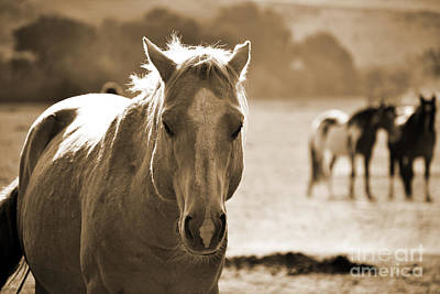Photograph - Stallion In The Forefront Sepia by Heather Kirk