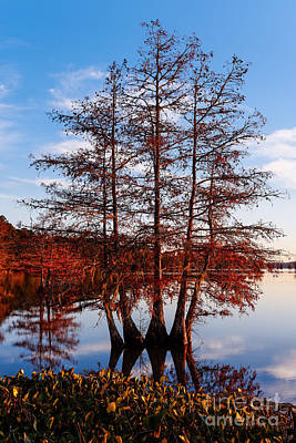 Stand Of Bald Cypress Trees At Ba Steinhagen Lake In Martin Dies Jr State Park - Jasper East Texas Art Print by Silvio Ligutti
