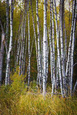 Photograph - Stand Of Birch Trees by Patricia Babbitt