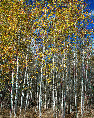 Photograph - Stand Of Quaking Aspen by Chuck Flewelling