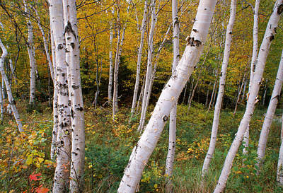 Of Autumn Photograph - Stand Of White Birch Trees by Panoramic Images