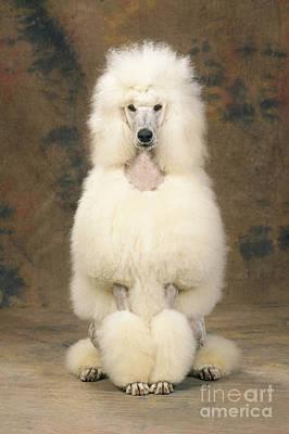 Standard Poodle Photograph - Standard Poodle Dog by John Daniels