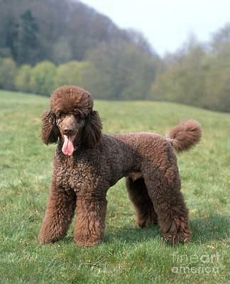 Panting Dog Photograph - Standard Poodle by Hans Reinhard/Okapia