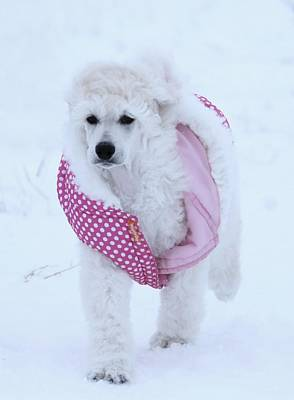 Photograph - Standard Poodle In Winter by Lisa  DiFruscio