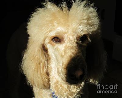 Standard Poodle Art Print by Judy Via-Wolff