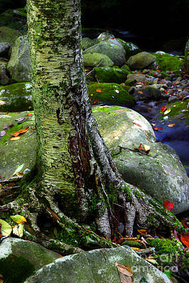 Tree Roots Photograph - Standing Along The Stream by Michael Eingle