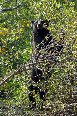 Photograph - Standing Black Bear by Cindy Murphy - NightVisions