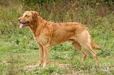 Standing Chesapeake Bay Retriever Dog Art Print by Dog Photos