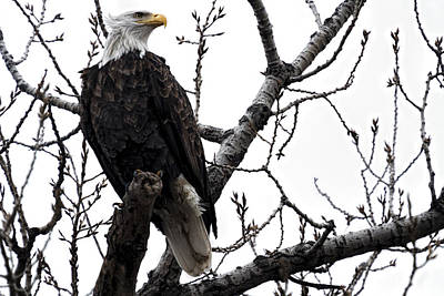 Photograph - Standing Proud - Bald Eagle by Scott Bean