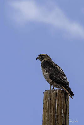 Red Tail Hawk Photograph - Standing Proud by Sheryl Cox