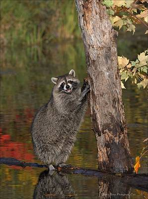 Photograph - Standing Raccoon by Daniel Behm