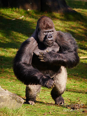 Photograph - Standing Silverback Gorilla by Nick  Biemans