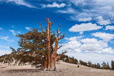 Standing Strong - View Of The Ancient Bristlecone Pine Forest. Art Print by Jamie Pham