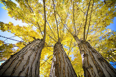 Photograph - Standing Tall Autumn Maple by James BO Insogna