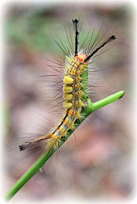 Photograph - Standing Tall Caterpillar by Sheri McLeroy