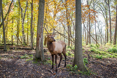 Nikki Vig Royalty-Free and Rights-Managed Images - Standing Tall - Elk Among Fall Trees by Nikki Vig