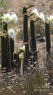 Photograph - Standing Tall Flowering Cactus  by Susan Garren