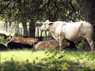 Photograph - Standing Watch Cattle Photographic Art Print by Ella Kaye Dickey
