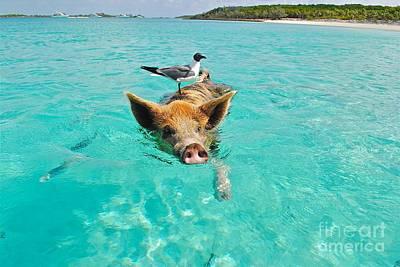 Staniel Cay Swimming Pig Seagull Fish Exumas Art Print