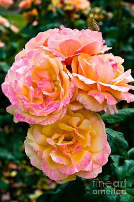 Stanley Park Rose Garden 3 Art Print by Terry Elniski