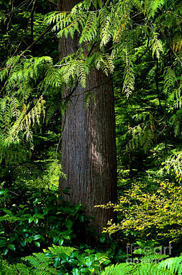Red Cedar Photograph - Stanley Park Trees 24 by Terry Elniski