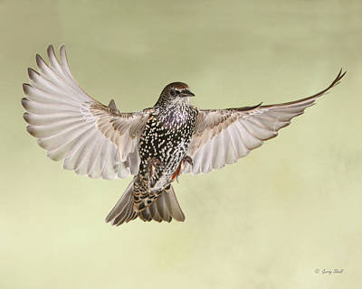 Photograph - Stanley The Starling by Gerry Sibell