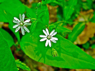 Star Chickweed On Rock Spring Trail On Natchez Trace Parkway-alabama Art Print by Ruth Hager