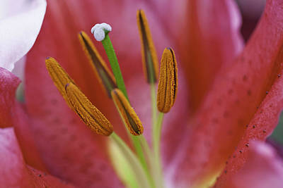 Star Gazer Lilly Macro Art Print by Lesley Rigg