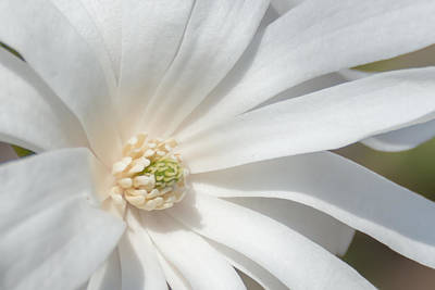 Star Magnolia Close-up Art Print by Priyanka Ravi