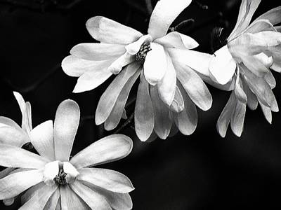 Photograph - Star Magnolia In Black And White by Carol Montoya