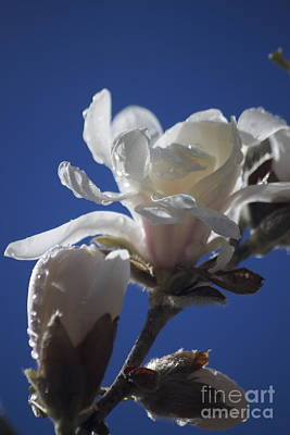 Photograph - Star Magnolia In The Spring by Terri Thompson