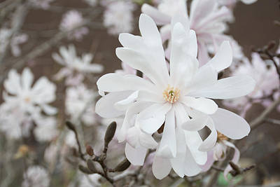 Star Magnolia Soft Art Print by Priyanka Ravi