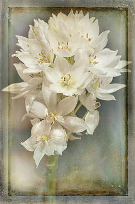 Photograph - Star Of Bethlehem by Carol Erikson