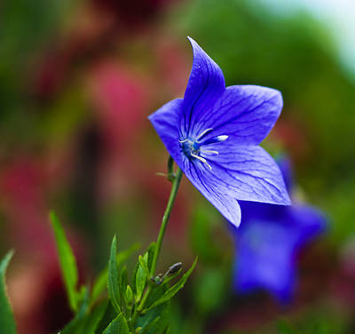 Photograph - Star Of Blue by Christi Kraft