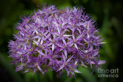 Persian Onion Photograph - Star Of Persia Flower by Michael Shake