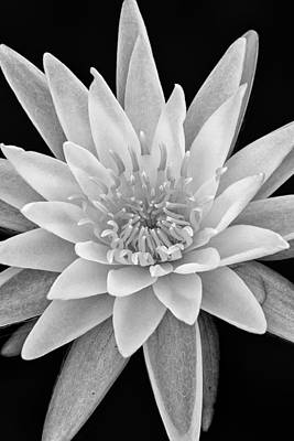 White Water Lilies Photograph - Star Of The Water by Jeff Sinon