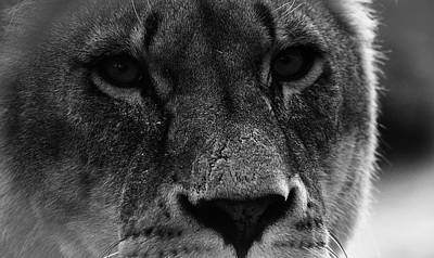 Animals Photos - Stare of a Lion by Martin Newman