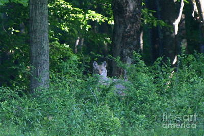 Photograph - Eastern Coyote  by Neal Eslinger