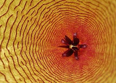 Photograph - Starfish Cactus by Julie Grandfield
