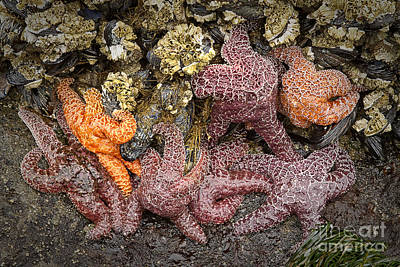 Photograph - Starfish by Carrie Cranwill